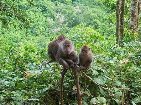 monyet asli