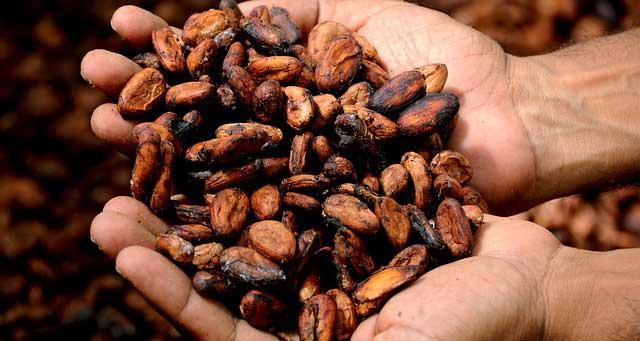 Tahapan Hulu Kakao